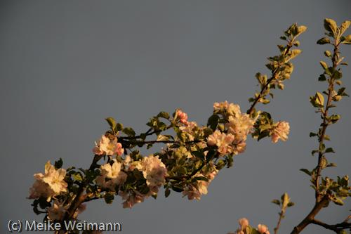 Es folgen jede Menge Bilder eines tollen Apfelbaumes in absolut supertollem Licht! (finde ich...)