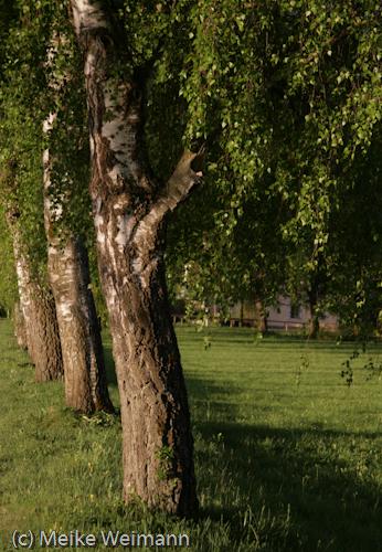 Teil einer Birkenallee. Ich mag diese Bäume sehr gerne, aber *hatschi* *schnief* Hochallergen, die Teile!