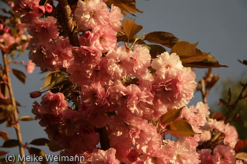 """Das ist eine """"Hohe Nelkenkirsche"""" (Prunus serrulata Kanzan). Auch toll in diesem Licht. Der Himmel ist shcon nicht mehr blau, sondern wolkengrau!"""