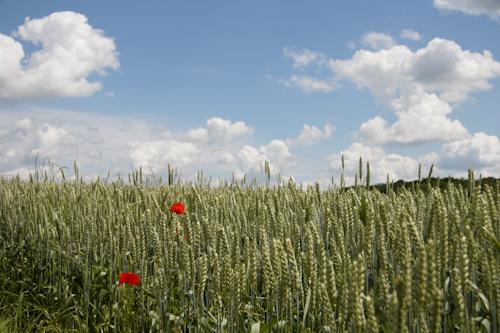 So sieht es in Erdbach im Frühsommer aus, wenn schönes  Wetter ist: Blauer Himmel, grüne Kornfelder, bunte Blumen
